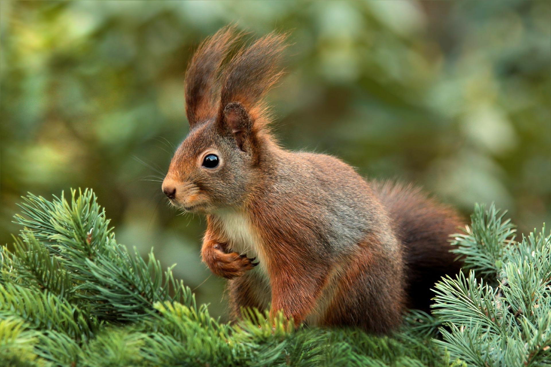 squirrel-veverica-pocetna